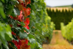 Autumn in the Winery
