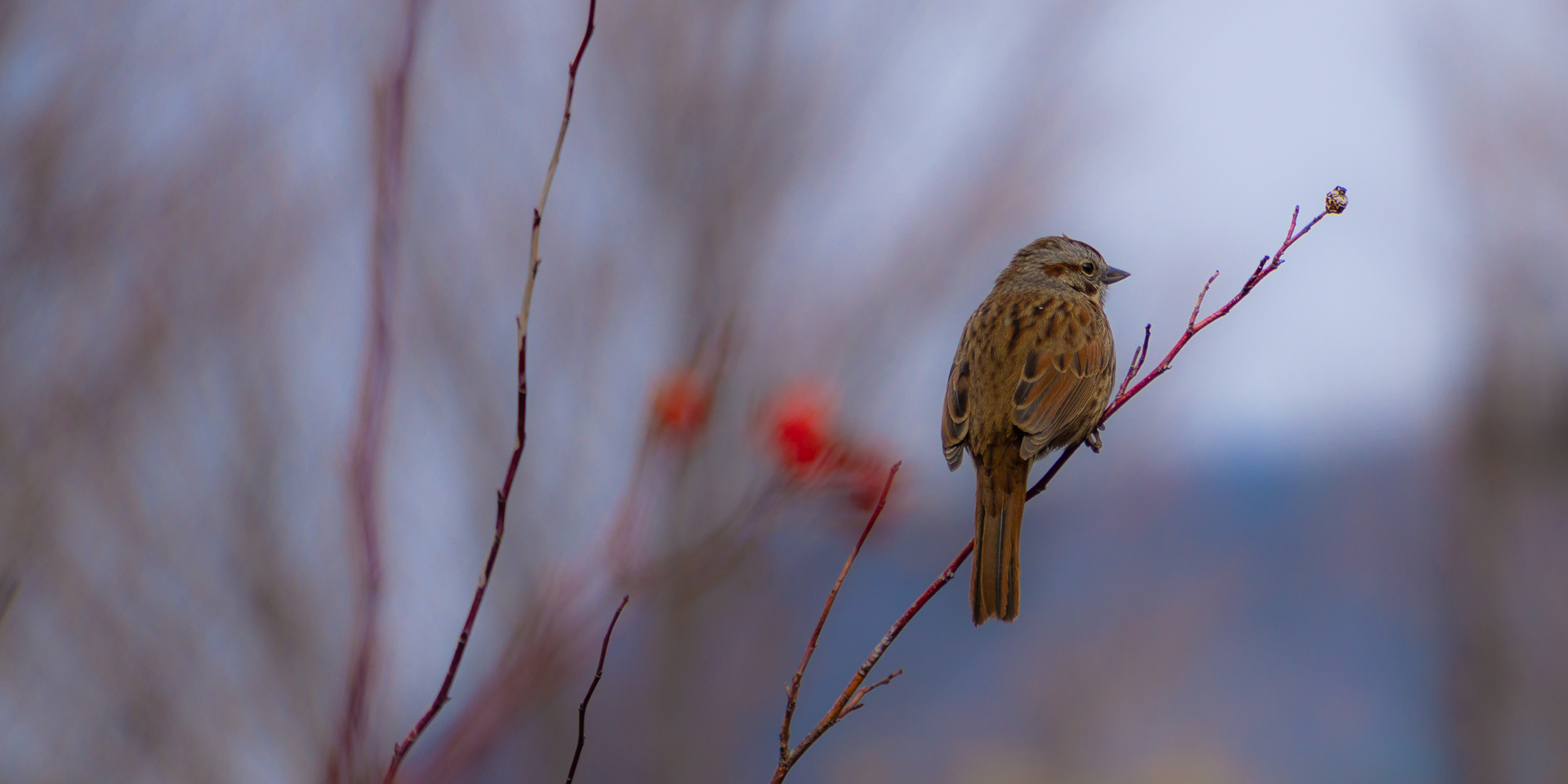 Early Spring Sparrow