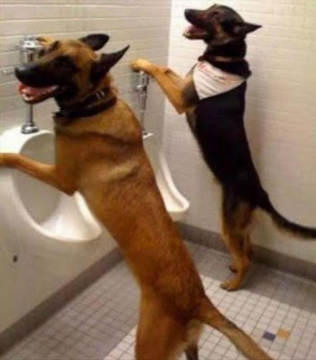 E estes cachorros fazendo xixi no banheiro?