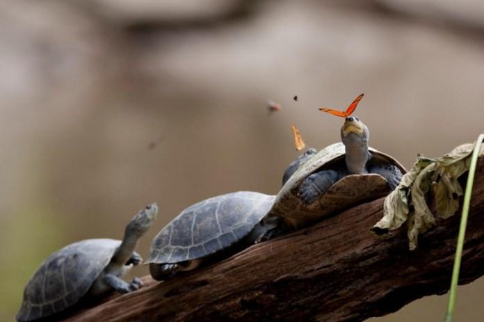 Tartarugas no Galho