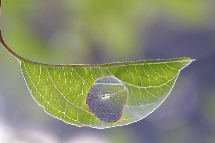 aranha teia folha