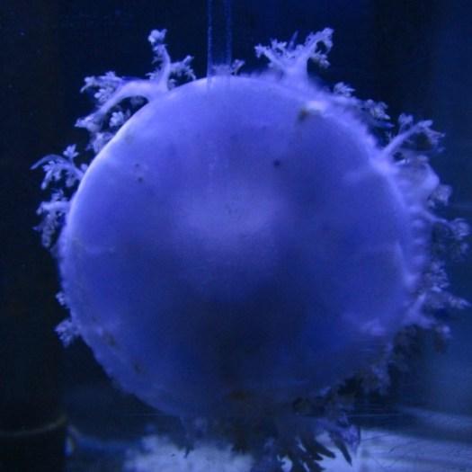 3- jellyfish