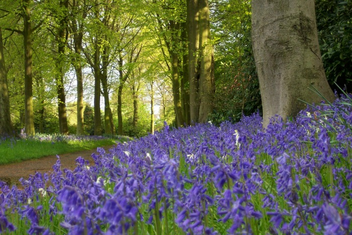 Bluebells in garden at Rufford Old Hall NTPL