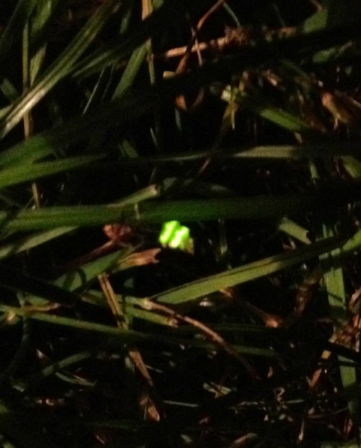 Glow worm on Headley Heath credit Andrew Wright