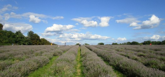 Mayfield Lavender fields 1