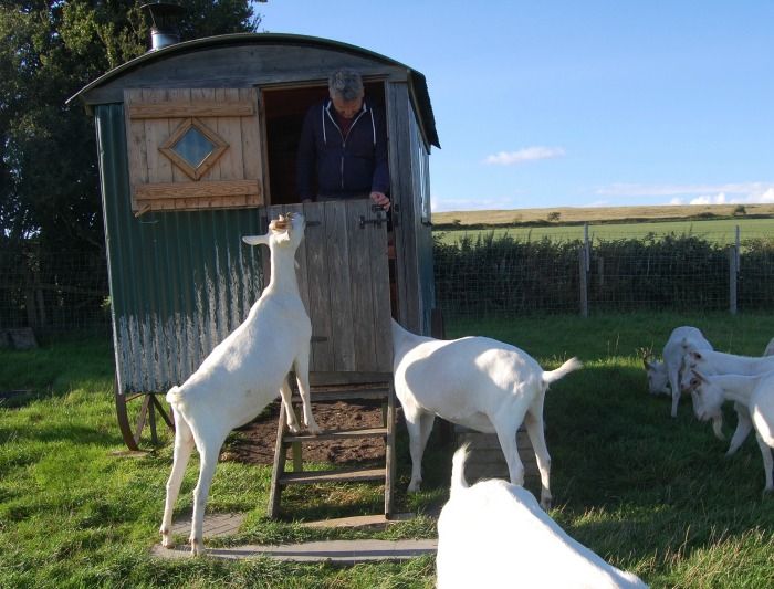 friendly goats at Woodspring Farm Hut