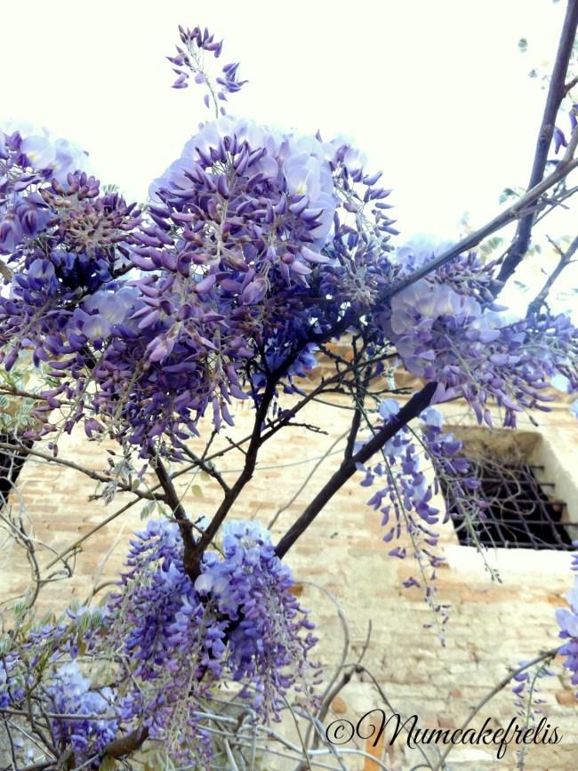 Wisteria sinensis – Glicine comune. E' la specie botanica, di origine cinese