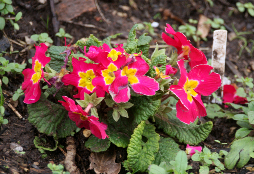 Windmill Hill City Farm Bristol primroses