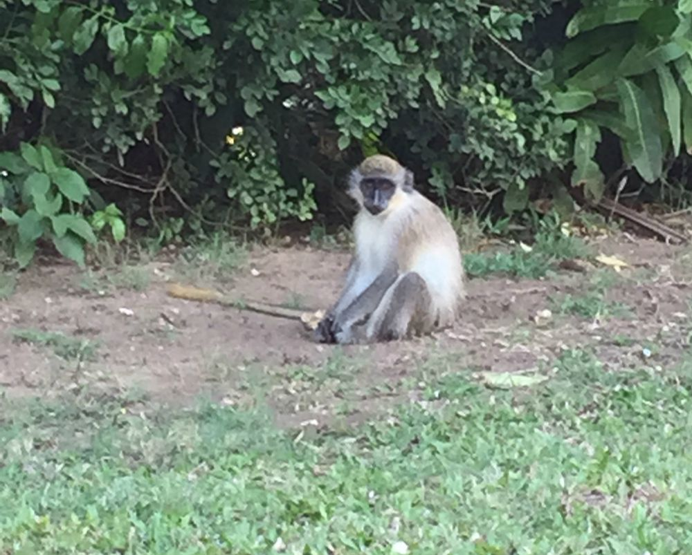 Royal Westmoreland Monkey