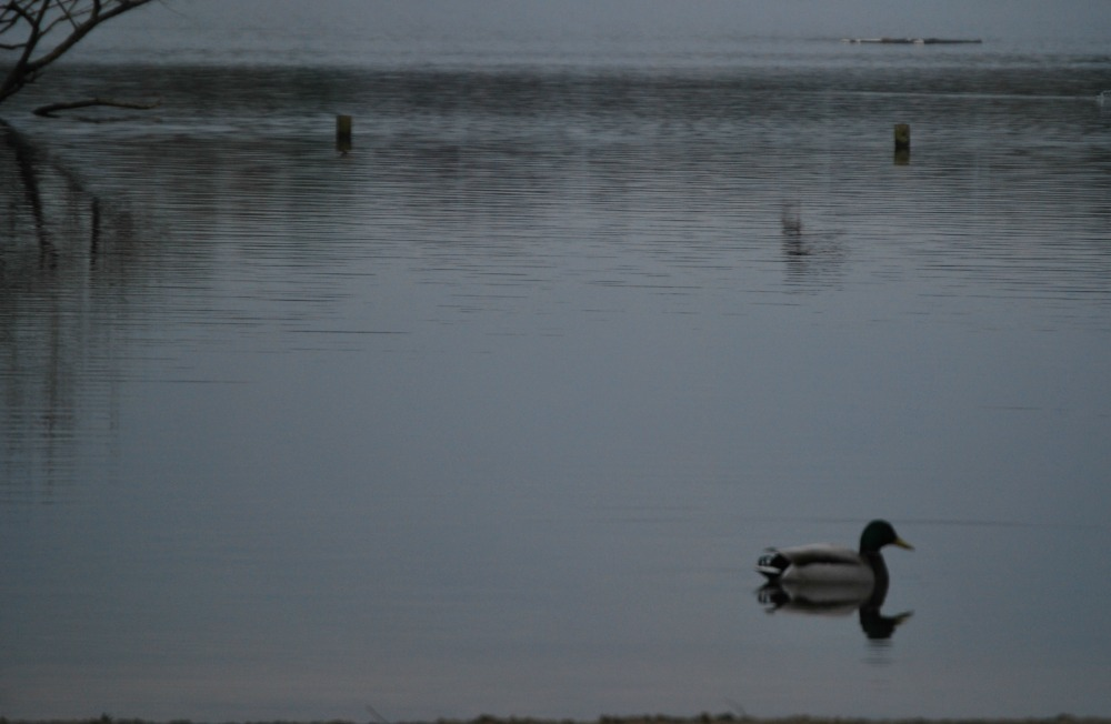 Fleet Pond Duck