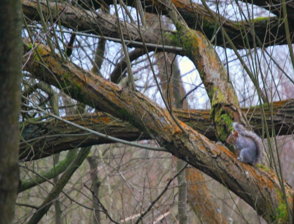 Squirrel at Fleet Pond
