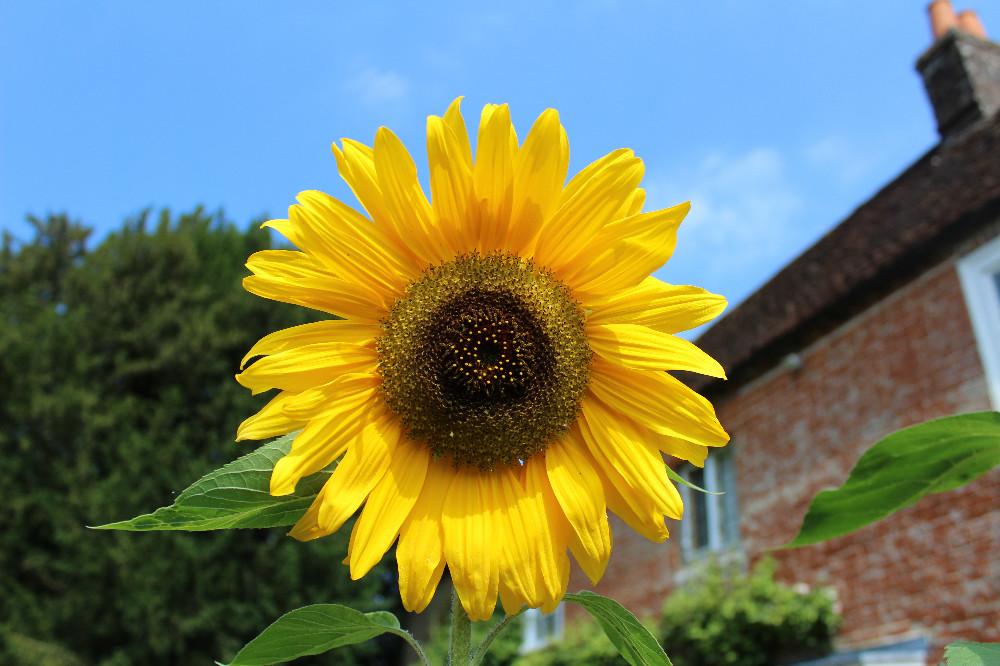 Sunflowers at Jane Austen's House