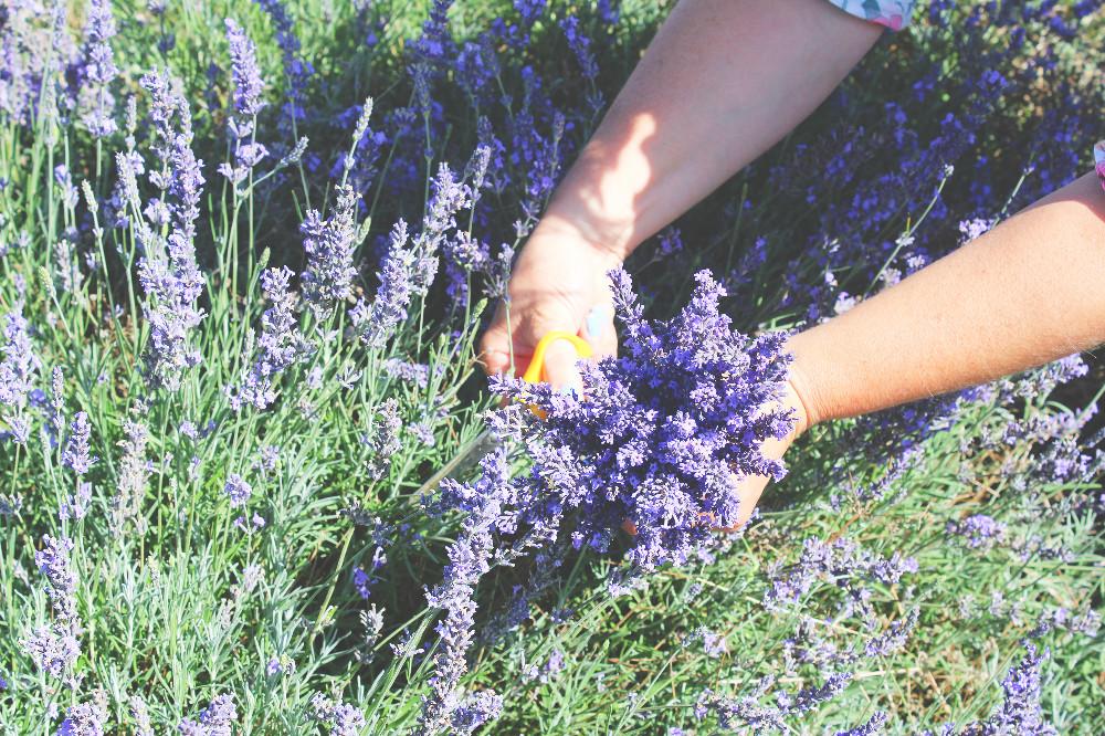 Hitchin Lavender