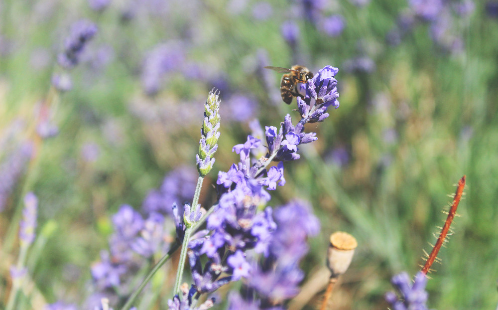 Hitchin Lavender with bees