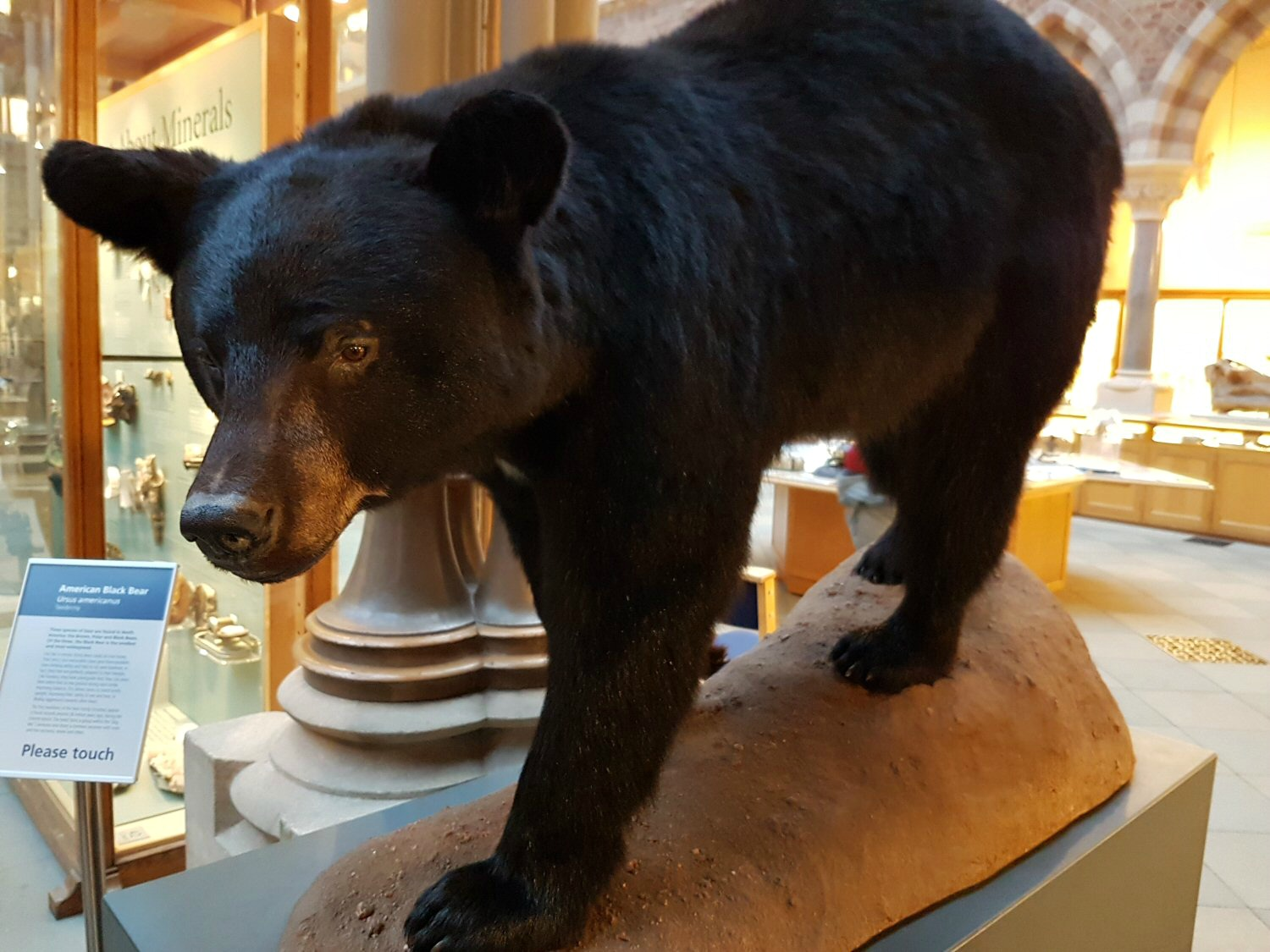 Black bear - one of the exhibits at Oxford University Museum of Natural History. Our Oxford University natural history museum day out