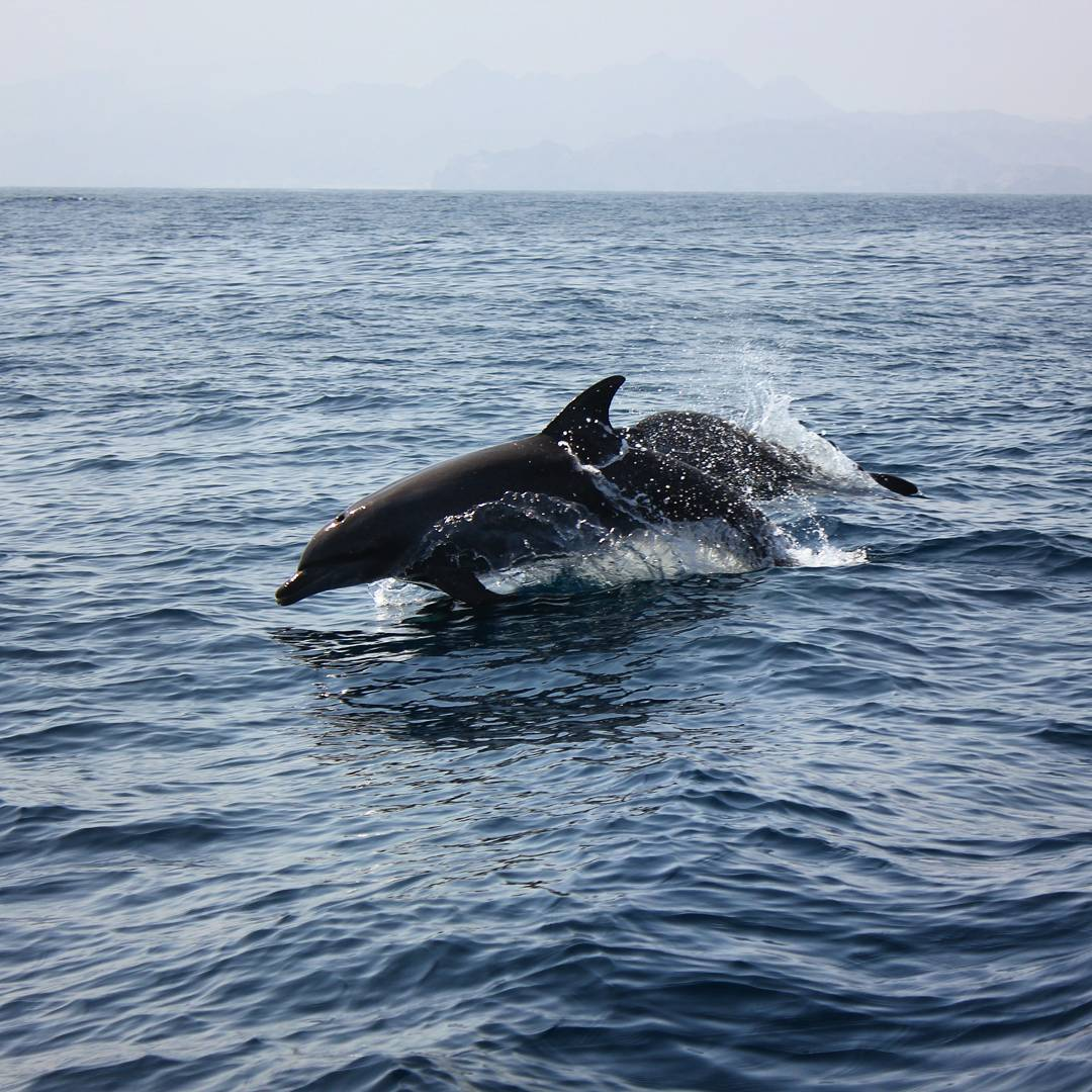 A dolphin leaping out of the blue waves of the sea off Muscat in Oman - my nine reasons to visit Oman with kids
