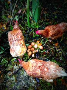 chickens, country kids, mumof2, definition of a chicken