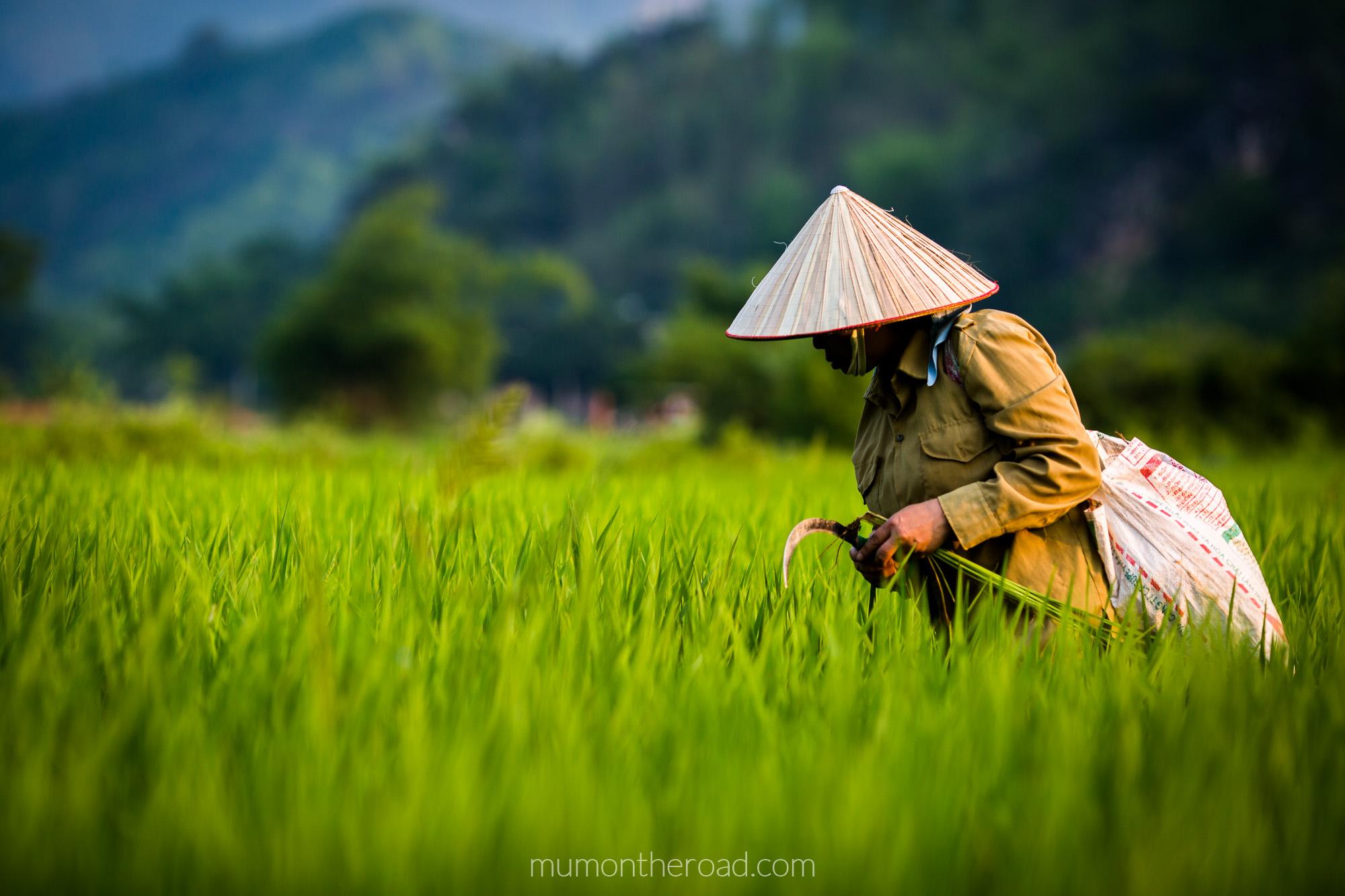 Femme au chapeau conique travaillant dans les rizières de la vallée de Mai Chau au Vietnam