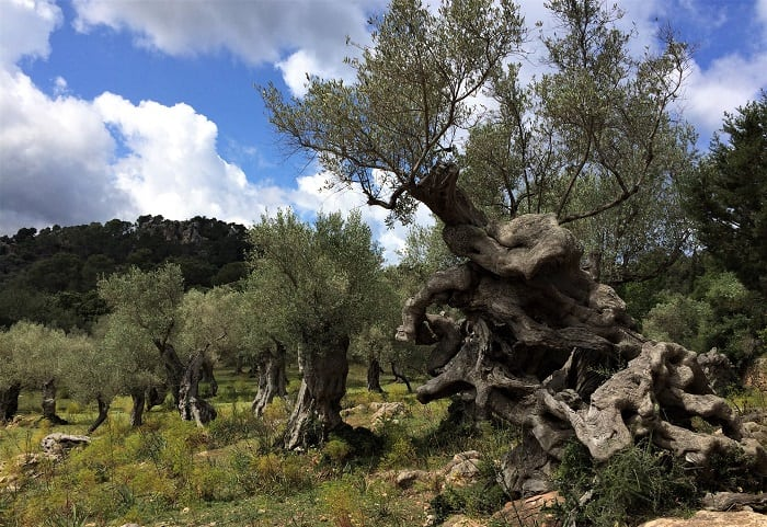 Ancient olive trees in Mallorca