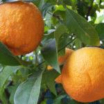 bitter orange emagrece