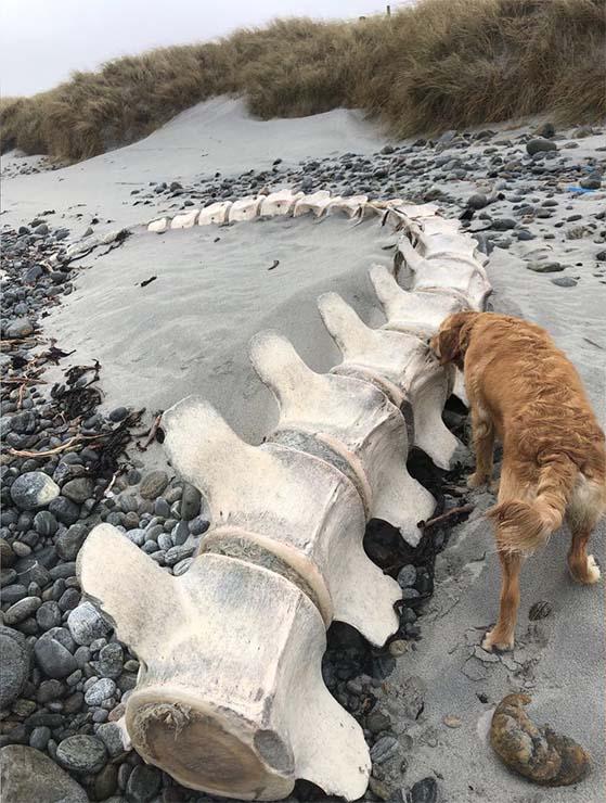 Créature de la plage d'Écosse - Les restes d'une créature gigantesque et mystérieuse sont découverts sur une plage écossaise