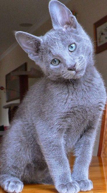 Comportamiento de los cachorros de gato azul ruso