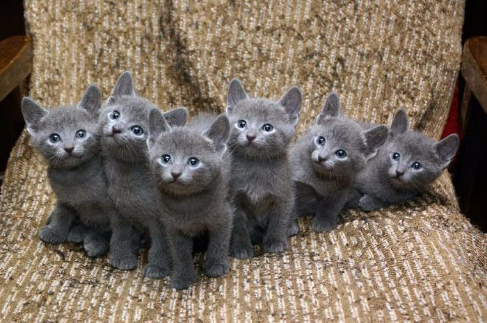 ¿Cuáles son las características de los bebés de gato azul ruso?