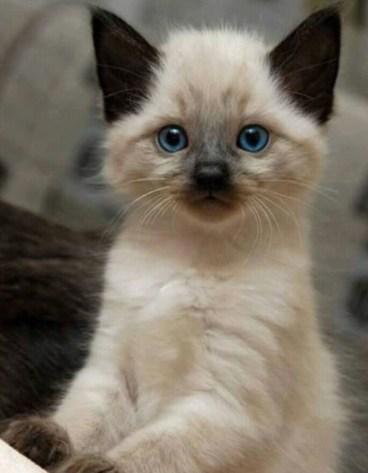¿Cómo cuidar a un bebé de gato himalayo?
