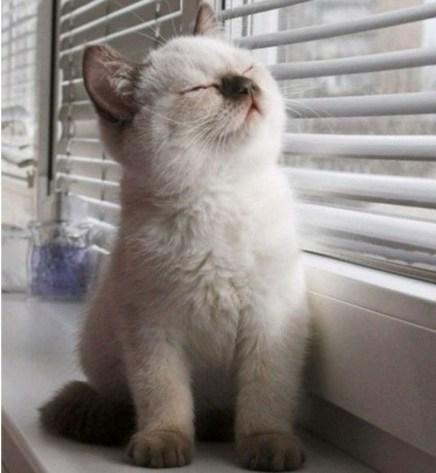 Gatitos de gato Himalaya