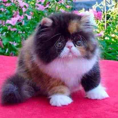 Temperamento de los gatitos Persa Calicó