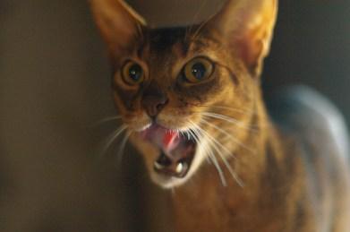 Temperamento del gato Abisinio