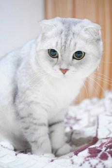 Cuidados del gato Escocés