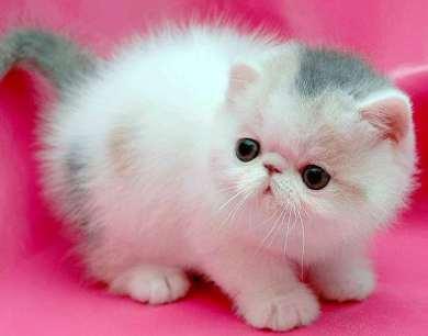 Cría de gato Persa blaquito