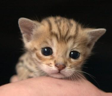 Bebé de gato Ashera de 2 semanas