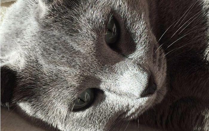 Comportamiento de la raza de gato azul ruso