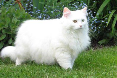 Gato Bosque de Noruega de color blanco