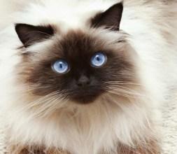 ¿Cuál es el color del gato himalayo?