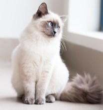 ¿Gato himalayo o persa colorpoint?