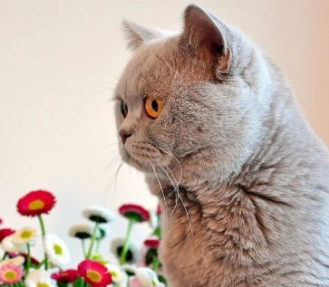 Gatos british en adopción