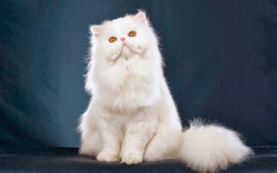 Los gatos Persa pueden ser de varios colores