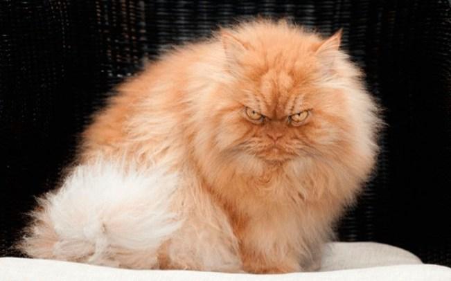 Carácter de los gatos Persa