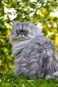 Características del gato Persa Smoke