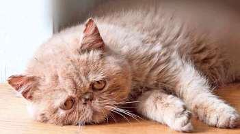Carácter del gato persa Tabby