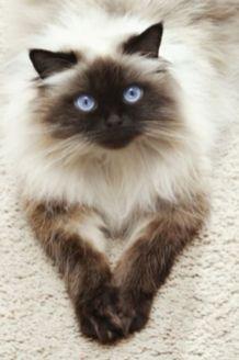 ¿Cómo son los gatos Ragdoll?
