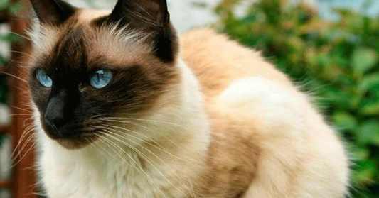Colores del gato Siamés tradicional