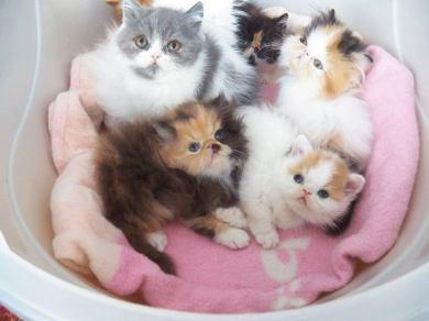 Crías de gato Persa de varios colores