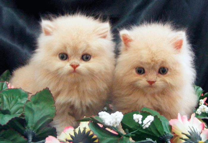 Cuidados del bebé de gato persa Tabby