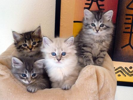 Cachorros del gato siberiano