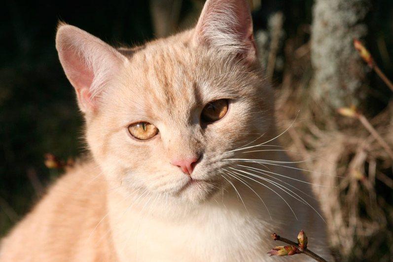 Historia del gato Común Europeo