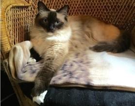 ¿Cuál es la historia de la raza de gato Himalaya?